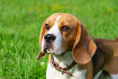 Beagle dog. Young energetic beagle walks in the meadow. Pets on the run, dogs play with each other. Correct good behavior royalty free stock images