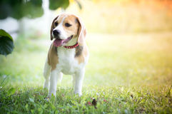 Beagle dog. Young Beagle puppy dog outside Stock Photos