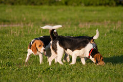 Beagle dogs Stock Image