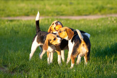 Beagle dogs Royalty Free Stock Photography