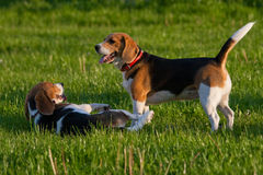 Beagle dogs Royalty Free Stock Image