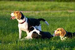 Beagle dogs Royalty Free Stock Photo