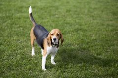 Beagle dogs. Beagle is also known as `Beagle`, is one of the world famous dogs, dogs, in classified as hunting dogs. Among the seventh most popular dogs in the Stock Image