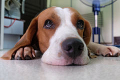Beagle dogs. Are looking for something Royalty Free Stock Photography