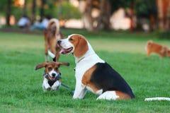 Beagle Royalty Free Stock Photography