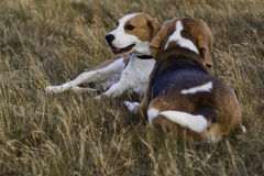 Beagle dogs resting. 2 Beagle dogs taking a break from playing in the field Stock Photo