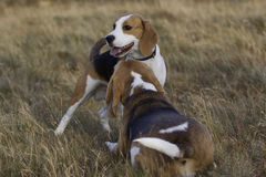 Beagle dogs resting. 2 Beagle dogs taking a break from playing in the field stock photography
