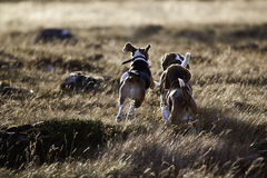 Beagle dogs running. 3 Beagle dogs facing from the camera and running into the sunset stock images