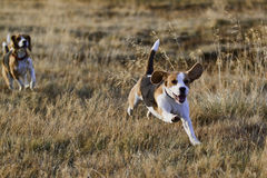 Beagle dogs running. 2 Beagle dogs running towards the camera in the evening royalty free stock images