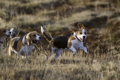 Beagle dogs running. 2 Beagle dogs running towards the camera in the evening Stock Photos