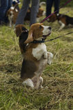 Beagle dogs, sitting on its hind legs. Royalty Free Stock Photography