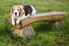 Beagle dosypianie na ławce Obraz Royalty Free