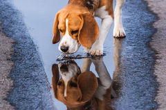 Beagle drinking from a puddle. White and tan beagle dog drinking from puddle on road with reflection Royalty Free Stock Images