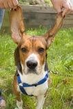 beagle duże uszy Obraz Stock
