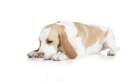 Beagle and dzhungar hamster isolated Royalty Free Stock Photo