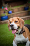 Beagle eager to play stock photography