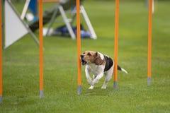 Beagle en agilidad fotografía de archivo