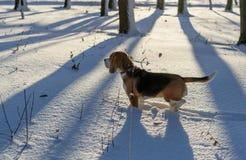 Beagle en bosque del invierno Fotos de archivo libres de regalías