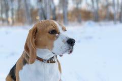 Beagle en bosque del invierno Imagenes de archivo