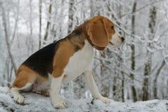 Beagle en bosque del invierno Fotografía de archivo libre de regalías