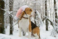 Beagle en bosque del invierno Foto de archivo