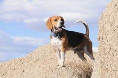 Beagle en el canto rodado Imagen de archivo