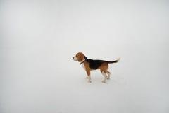 Beagle en el fondo blanco Imagen de archivo