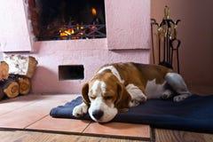 Beagle en el piso cerca de la chimenea vieja imágenes de archivo libres de regalías
