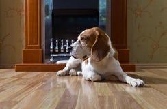 Beagle en el piso de madera cerca de la chimenea fotografía de archivo