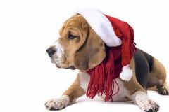 Beagle en el sombrero de Santa Claus Fotos de archivo