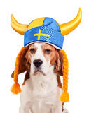 Beagle en el sombrero sueco, aislado en blanco Imagen de archivo