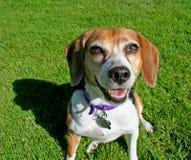 Beagle en hierba imagen de archivo