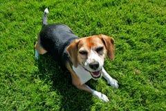 Beagle en hierba fotos de archivo libres de regalías