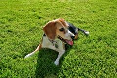 Beagle en hierba foto de archivo libre de regalías