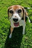 Beagle en hierba foto de archivo