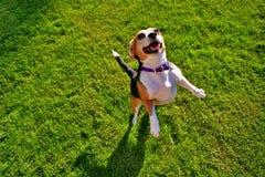 Beagle en hierba fotografía de archivo