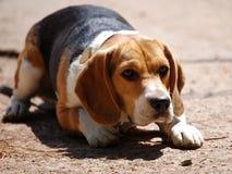 Beagle en la atención imagen de archivo