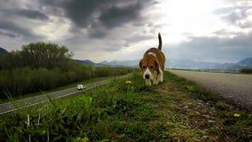Beagle en la caza: el oler para la presa metrajes