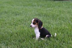 Beagle en la hierba Imagen de archivo