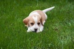 Beagle en la hierba Imágenes de archivo libres de regalías