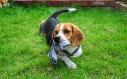 Beagle en la playa, Oregon Foto de archivo