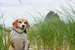 Beagle en la playa, Oregon fotografía de archivo