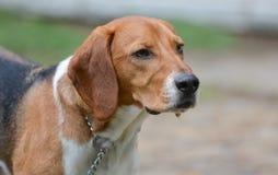 Beagle en la playa, Oregon imagen de archivo libre de regalías