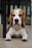 Beagle en modo triste Imagen de archivo libre de regalías