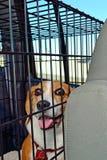 Beagle en perrera Foto de archivo