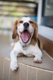 Beagle en tiro perfecto Imagenes de archivo
