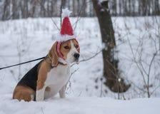 Beagle en un casquillo rojo de la Navidad Fotografía de archivo libre de regalías