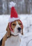 Beagle en un casquillo rojo de la Navidad Fotos de archivo