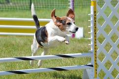Beagle en un ensayo de la agilidad del perro foto de archivo libre de regalías