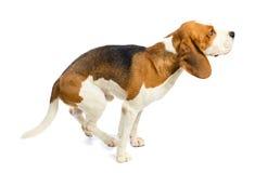 Beagle en un fondo blanco. Imágenes de archivo libres de regalías